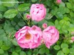 rosa-raubritter