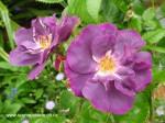 rosa-rhapsody-in-blue