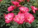 rosa-star-quality