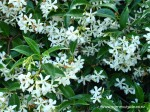 trachelospermum-jasminoides
