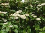 viburnum-japonicum