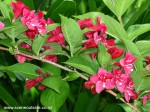 weigela-newport-red