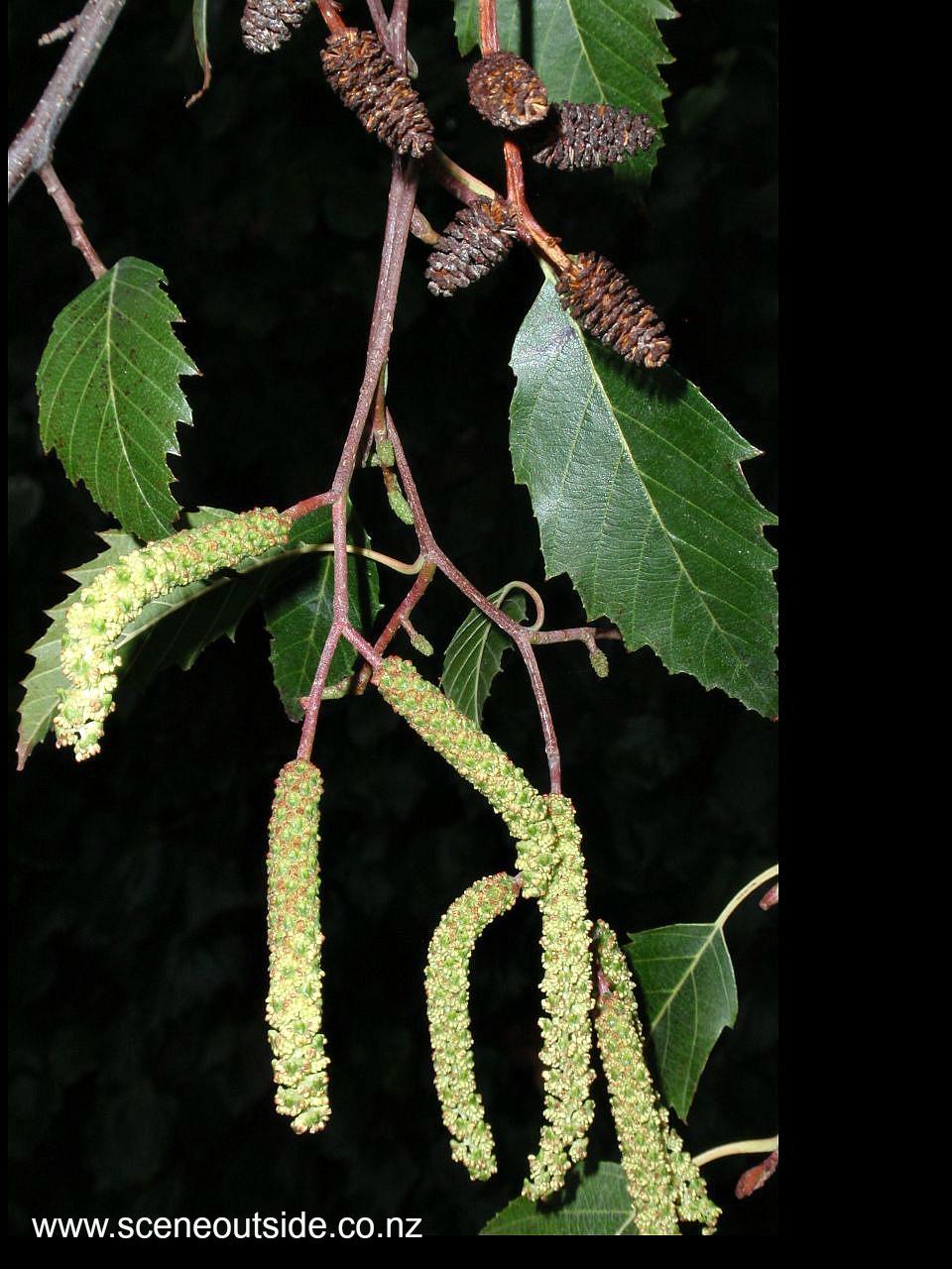 alnus-jorullensis-1.jpg