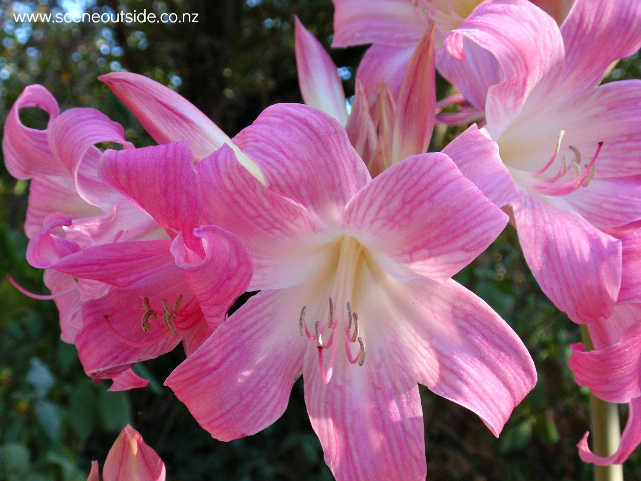 amaryllis-belladonna.jpg