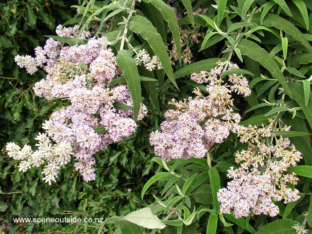 buddleja-salviifolia-1.jpg