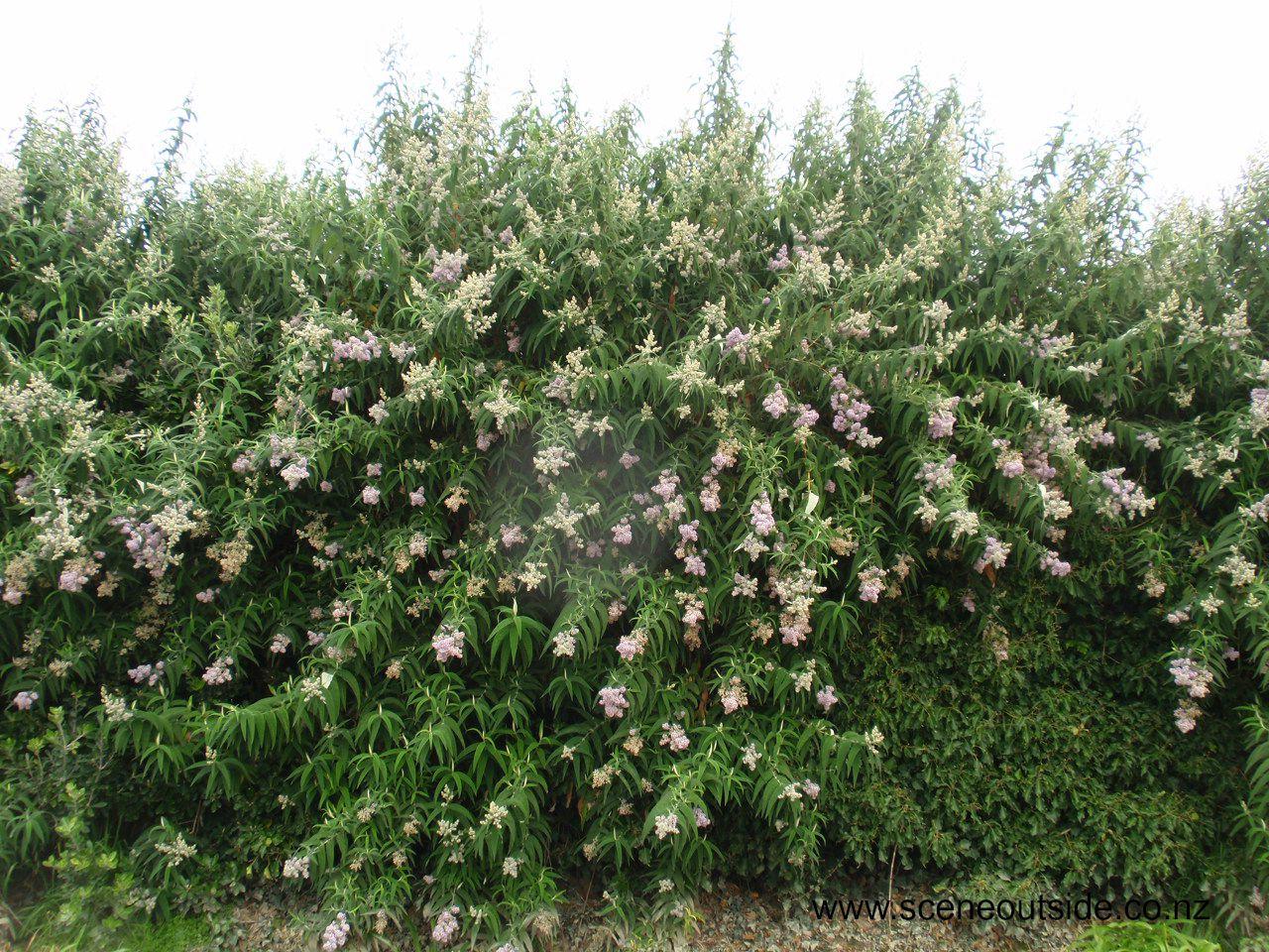 buddleja-salviifolia.jpg