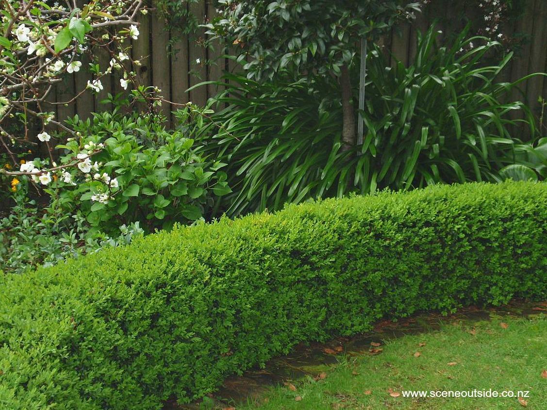 buxus-sempervirens-hedge.jpg