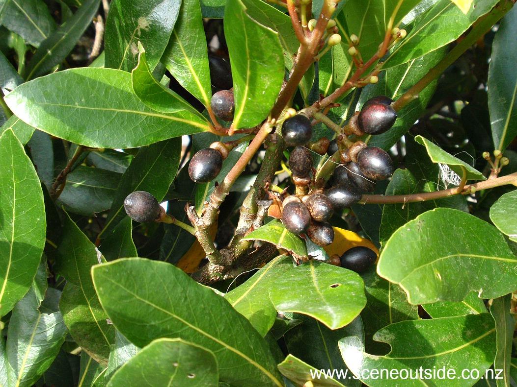 laurus-nobilis-fruit.jpg