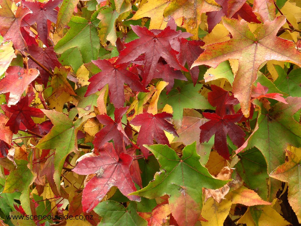 liquidambar-styraciflua-gumball-foliage.jpg