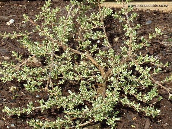 coprosma-kirkii-variegata.jpg