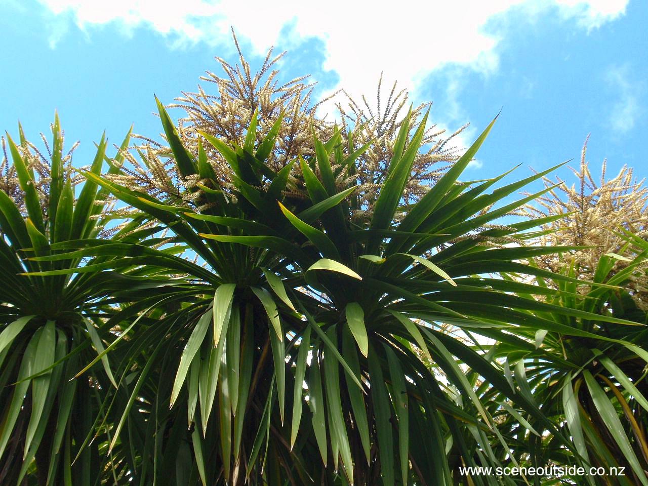 cordyline-australis.jpg