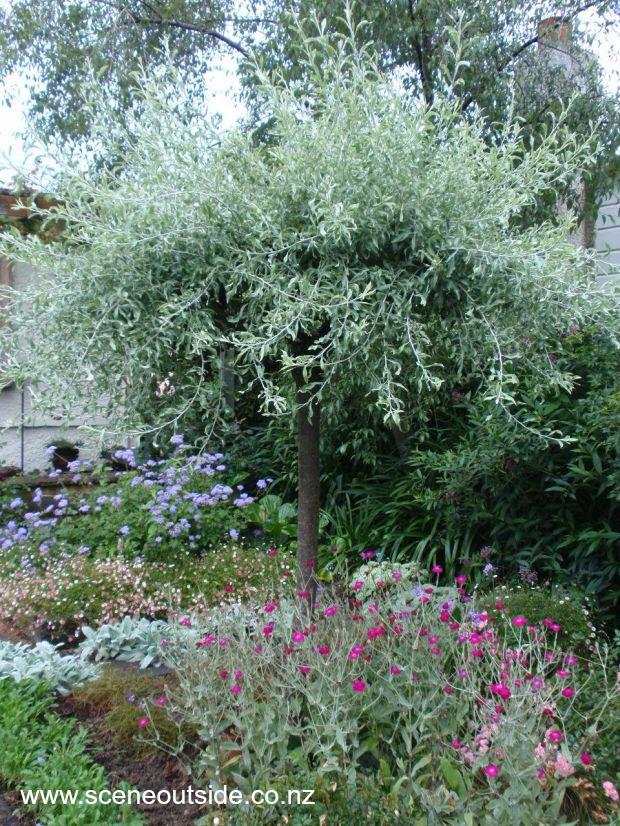 pyrus-salicifolia-pendula-1.jpg