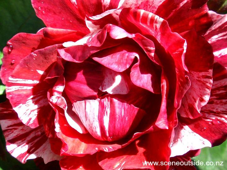 rosa-paul-gauguin-1.jpg