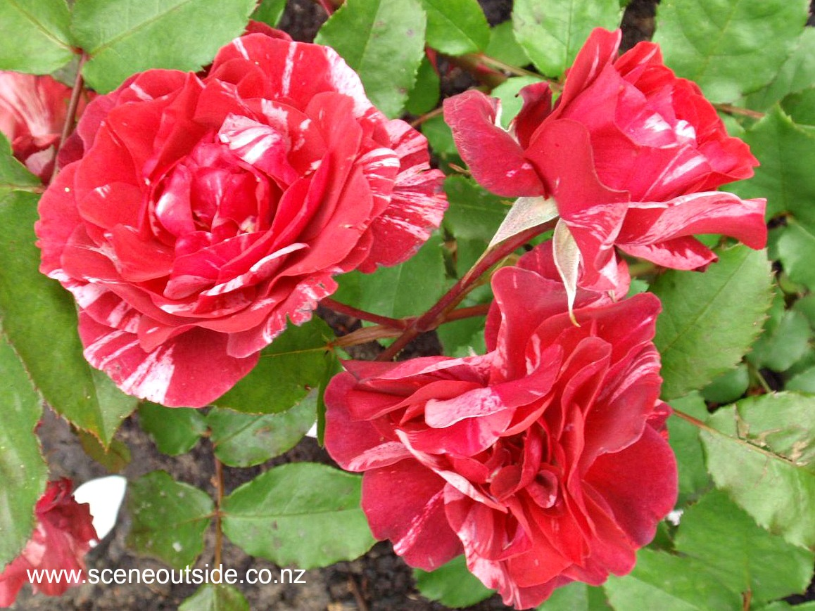 rosa-paul-gauguin.jpg