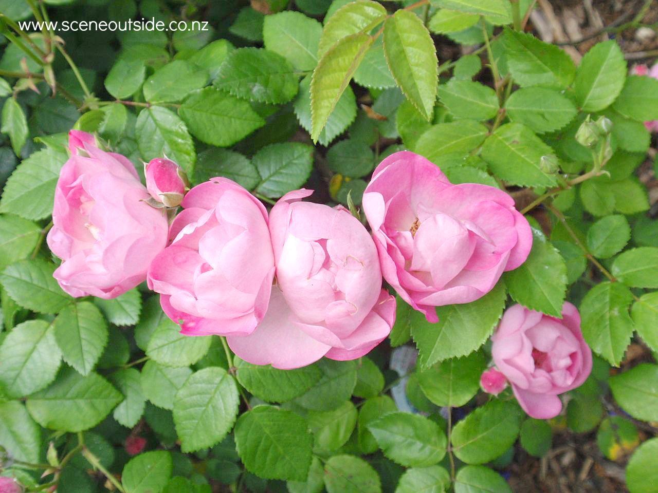 rosa-raubritter-1.jpg