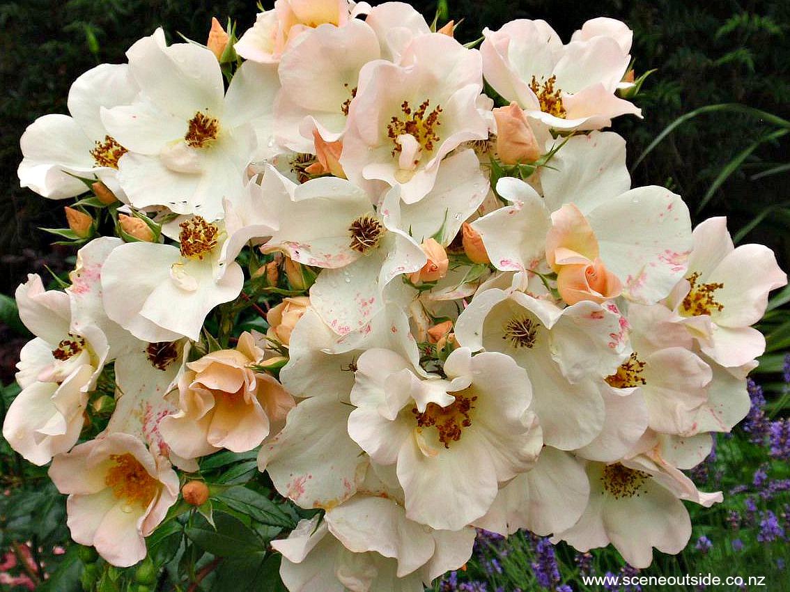 rosa-sally-holmes-1.jpg