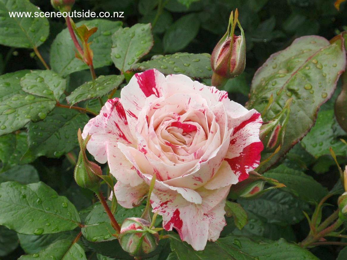 rosa-scentimental-closeup.jpg