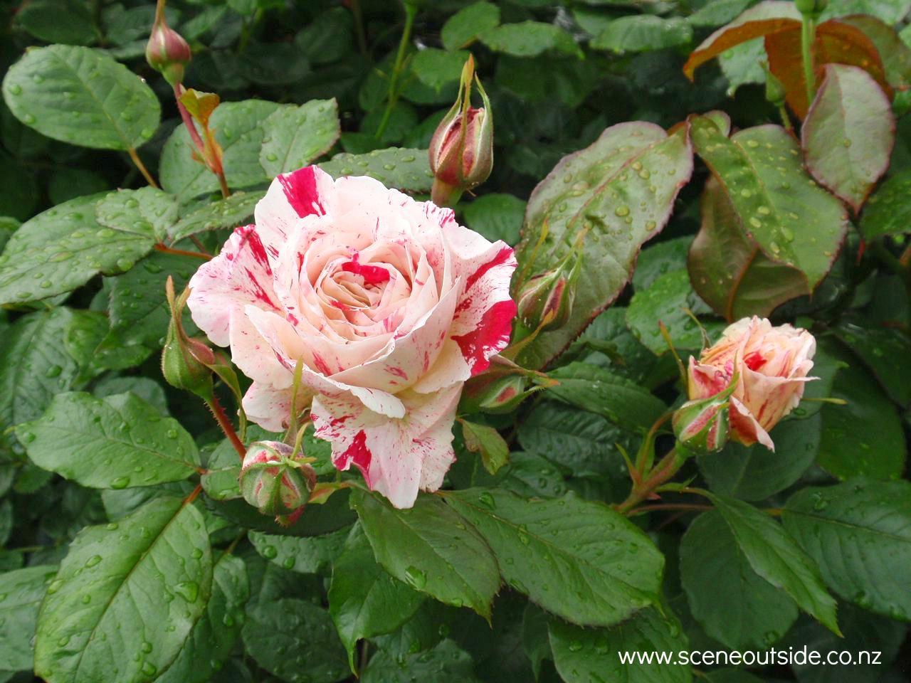 rosa-scentimental.jpg