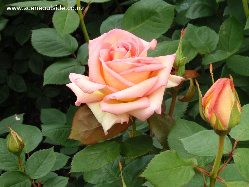 rosa-the-lady-2.jpg