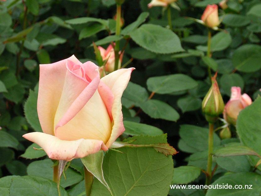 rosa-the-lady.jpg