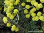 acacia-baileyana
