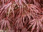 acer-palmatum-var-dissectum-crimson-queen