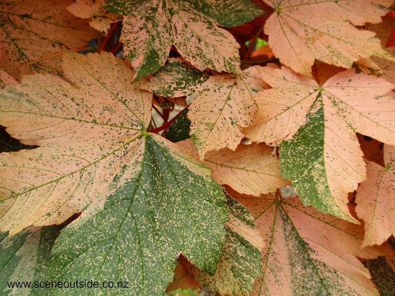 Foliage colour