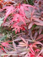acer-palmatum-shaina