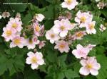 anemone-hybrida