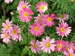 argyranthemum-frutescens-double-act