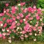 argyranthemum-double-act.jpg