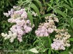 buddleja-salviifolia