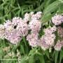 buddleja-salviifolia-2.jpg