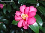 camellia-kanjiro