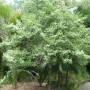 carpodetus-serratus-1.jpg