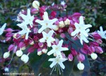 clerodendrum-trichotomum