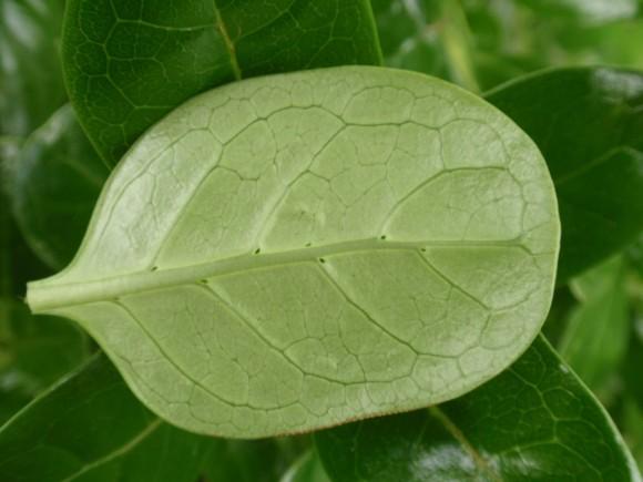 coprosma-repens-leaf-underside