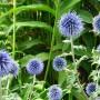 echinops-ritro-1.jpg