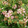 escallonia-apple-blossom.jpg