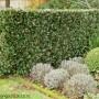 laurus-nobilis-hedge.jpg