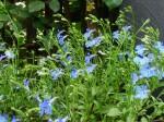 lobelia-erinus-lucia-dark-blue