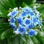 myosotidium-hortensia.jpg