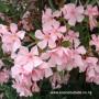 nerium-oleander-1.jpg