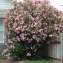 nerium-oleander.jpg