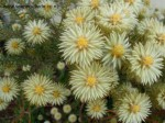phylica-pubescens