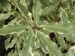 pittosporum-eugenioides-variegatum