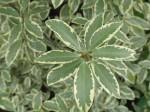 pittosporum-tenuifolium-variegatum