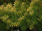 podocarpus-totara-aurea