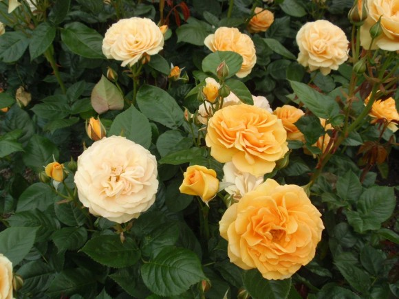 rosa-absolutely-fabulous