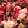 rosa-andrea-jane-2.jpg